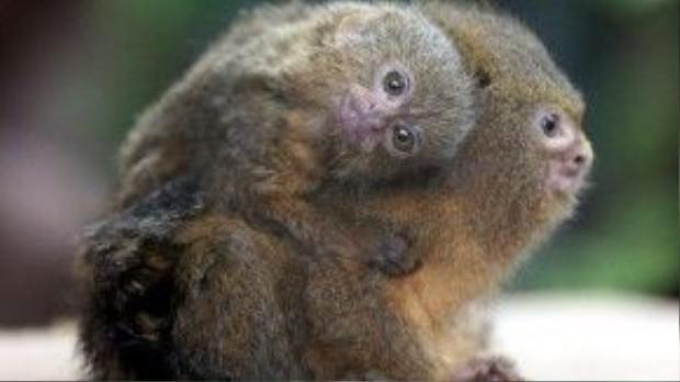 Hai mẹ con chú khỉ này cũng từng ở trong công viên Đại dương từ trước. Và cả hai đều không nhỏ bằng chú khỉ trong ảnh phía bên trên.