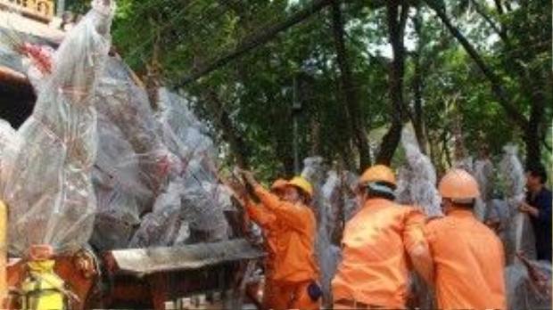 Hàng chục cây đào của ông Thành bị chất lên xe rác, cán nát vì ông không đủ tiền thuê xe chở về quê - Ảnh: Bùi Thư