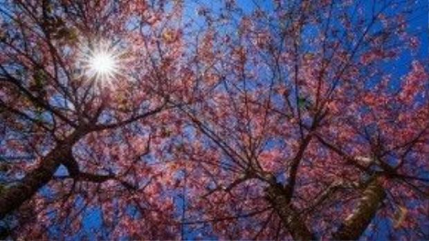 Hoa nở trước hiên nhà, khắp phố phường nhuộm hồng một góc trời.