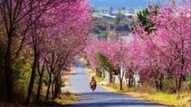 """Mai anh đào đang mùa nở rộ ở các khu vực Hồ Xuân Hương, Trần Hưng Đạo, đặc biệt con đường dốc Đa Quý nổi tiếng bởi hàng cây """"khoác áo hồng"""" tuyệt đẹp."""