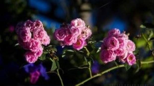 Tô điểm cho mùa xuân Đà Lạt còn có những bông tường vi tỏa hương thơm dịu dàng.