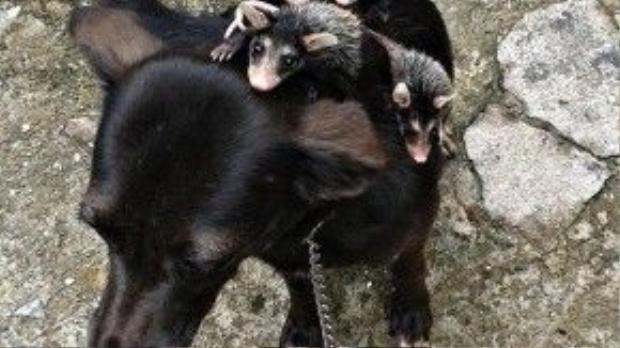 Mẹ chó và 4 đứa con chuột túi công kênh nhau trên lưng.