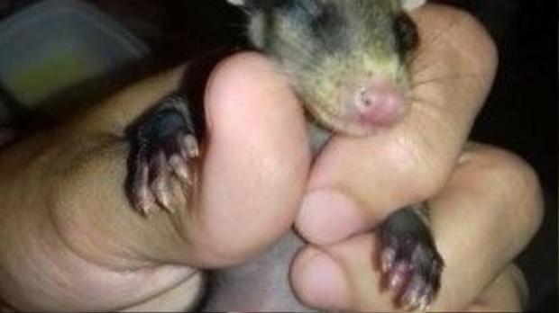 Những chú chuột thậm chí còn chưa mở mắt khi được Stephanie mang về nuôi.