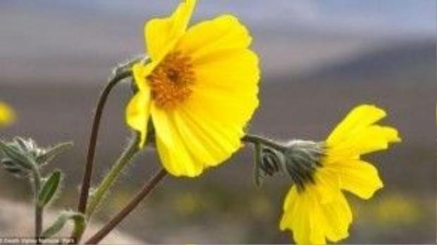"""Thung lũng Chết """"hồi sinh"""" nhờ những đóa hoa xinh đẹp này."""