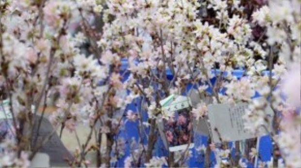 Dù đi cả quãng đường xa từ đất nước Nhật Bản, hoa anh đào vẫn giữ được vẻ đẹp vẹn nguyên.