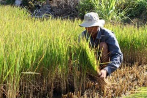 Nông dân Nguyễn Văn Luận ở huyện Bình Đại, tỉnh Bến Tre ngậm ngùi cắt lúa cho bò ăn.