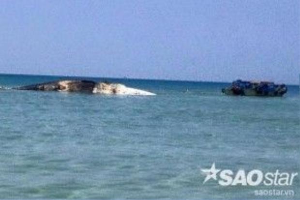 Khoảng 11h ngày 4/4, tàu cá BĐ 94725TS do ông Đặng Mậu Hữu (45 tuổi, quê Bình Định làm thuyền trưởng) khi đang đánh bắt hải sản tại khu vực vùng biển cách đảo Phú Quý 55 hải lý thì phát hiện xác cá voi khổng lồ trôi dạt trên biển.