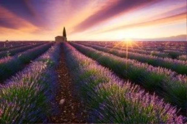 Cánh đồng hoa oải hương bạt ngàn ở Provence (Pháp) ngập tràn trong ánh bình minh.
