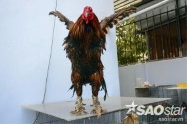 Gà lông điều vảy rồng nặng 2,6 kg có giá 16 triệu đồng. Chú gà này có dáng oai vệ, ức lông xếp theo dạng vảy rồng nên nhiều người muốn mua nhưng anh Quang chưa bán.
