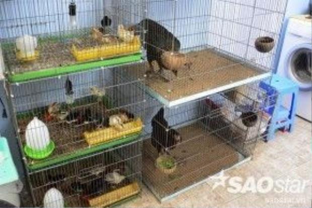 Ngoài trại nuôi gà ở quận 7, anh Quang còn có 2 trại ở thành phố Cao Lãnh (Đồng Tháp) và ở huyện Củ Chi để nhân giống và lai tạo gà con.