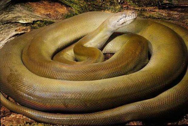 10 loài mãng xà khổng lồ khiến con người khiếp sợ khi gặp phải