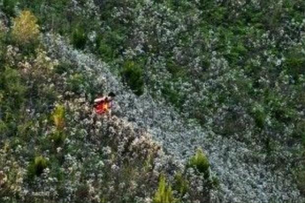 Hoa đỗ quyên trắng chen bước người đi lên đỉnh Tà Xùa. Ảnh: Hòa Ngô Huy.