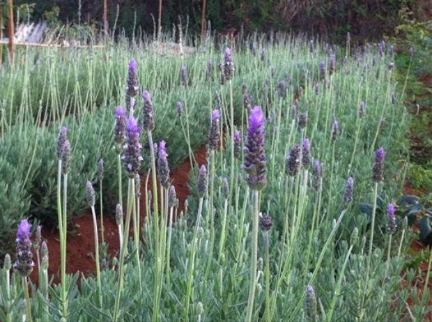 Vườn oải hương ở Đà Lạt đã phải đóng cửa vì hoa bị dập gãy bởi các bạn trẻ đến tham quan