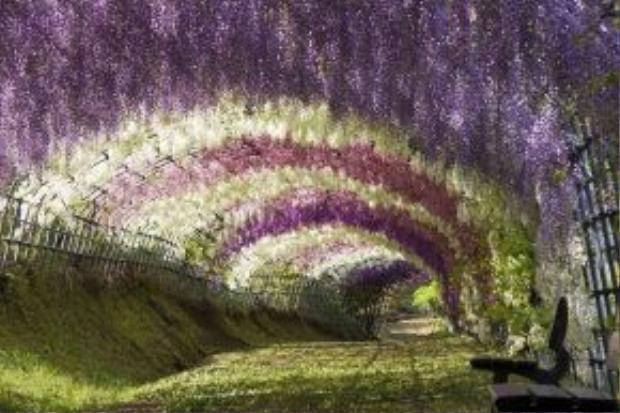 Đường hầm hoa tử đằng đích thị là một trong những địa điểm được người nước ngoài nhắc đến rất nhiều mỗi khi nghĩ đến Nhật Bản. Tại đất nước này, người dân coi hoa tử đằng là biểu tượng của tình yêu vĩnh cửu thay vì hoa hồng như phương Tây.