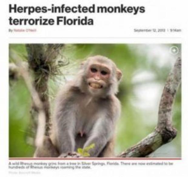 Khỉ nhiễm Herpes khủng bố người dân Florida.