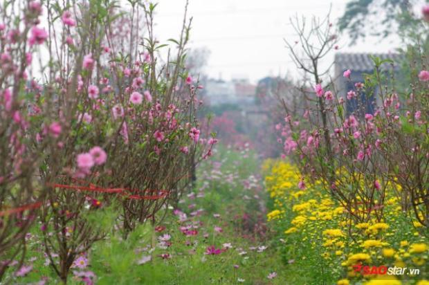 Miền Bắc năm nay vừa trải qua một năm đầy biến động về thời tiết, nếu như đầu năm là cái rét kéo dài thì những ngày cuối năm, Hà Nội đang trải qua thời tiết nắng hanh xuyên suốt cả mùa đông. Không còn cảnh mưa phùn gió bấc khi nhiệt độ luôn ở ngưỡng xấp xỉ 30 độ, đây là nguyên nhân chính khiến đào ra hoa sớm hơn thường lệ.