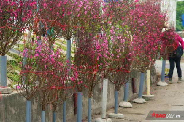 Dọc đường Âu Cơ cạnh chợ hoa đầu mối Quảng An (Tây Hồ), đào đã được các thương lái bày bán đầy rẫy dưới chân đê, trông chả khác gì những ngày cận kề Tết âm lịch các năm trước.
