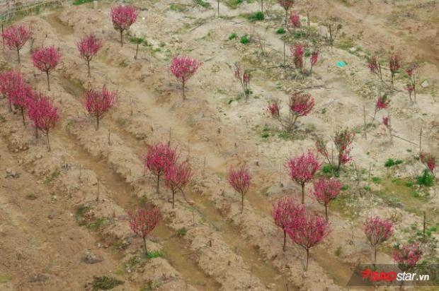 Không khó để có thể thấy một lượng lớn đào ở Nhật Tân đã ra hoa rực rỡ…