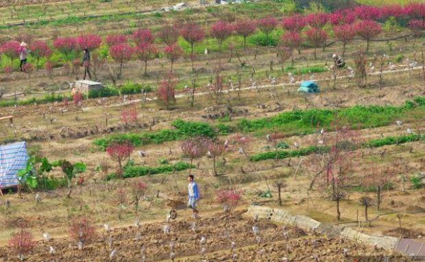 Khung cảnh được chụp lại từ cầu Nhật Tân xuống làng đào truyền thống, rất nhiều gốc đào đã được cưa đi sớm.