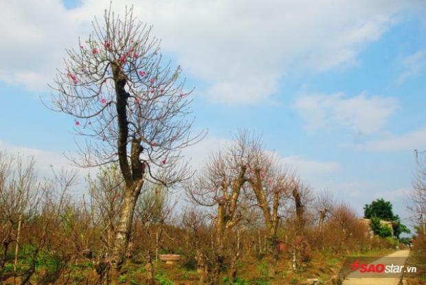 Thiệt hại nặng nề nhất chính là các nhà vườn trồng đào thế lâu năm…