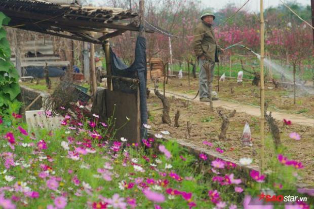 Một lượng lớn gốc đào chưa nở, đang được người dân tìm mọi cách để làm chậm lại tiến trình ra hoa, tuốt lá chậm hơn nhằm giữ lại cho ngày Tết âm truyền thống sắp tới.