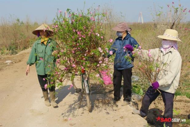 """Tuy vậy người nông dân ở Nhật Tân vẫn rất lạc quan. Cô Hiển, người trồng đào lâu năm ở đây cho biết: """"Nước lên thì thuyền lên thôi, yên tâm là Tết truyền thống vẫn có đào để chơi. Làng Nhật Tân này rất rộng, và mới chỉ có một phần nhỏ lượng đào ra hoa sớm, mọi người đang tuốt lá chậm lại để canh đúng dịp Tết ra hoa""""."""