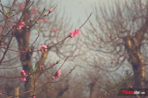 Chùm ảnh: Trước Tết 1 tháng, đào nở đỏ rực ở Nhật Tân