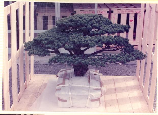 Vào năm 1976, ông Masaru Yamaki quyết định tặng lại cây Bonsai này cho bảo tàng vườn ươm quốc gia Mỹ.