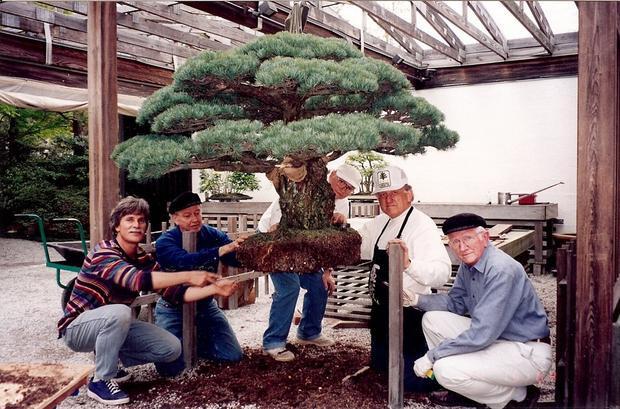 Cây bonsai 400 tuổi, sống sót qua thời bom nguyên tử Hiroshima và vẫn tiếp tục phát triển