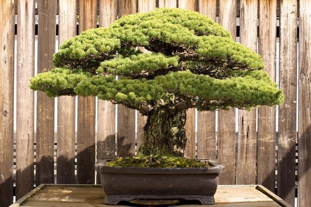 Cận cảnh cây Bonsai 391 tuổi.