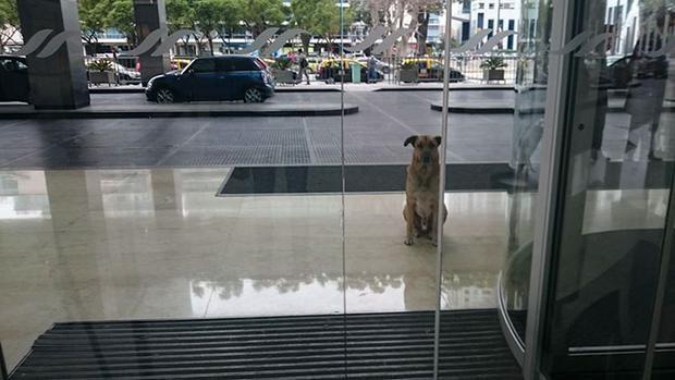 Chú chó luôn chờ ở trước cửa khách sạn để gặp ân nhân của mình.