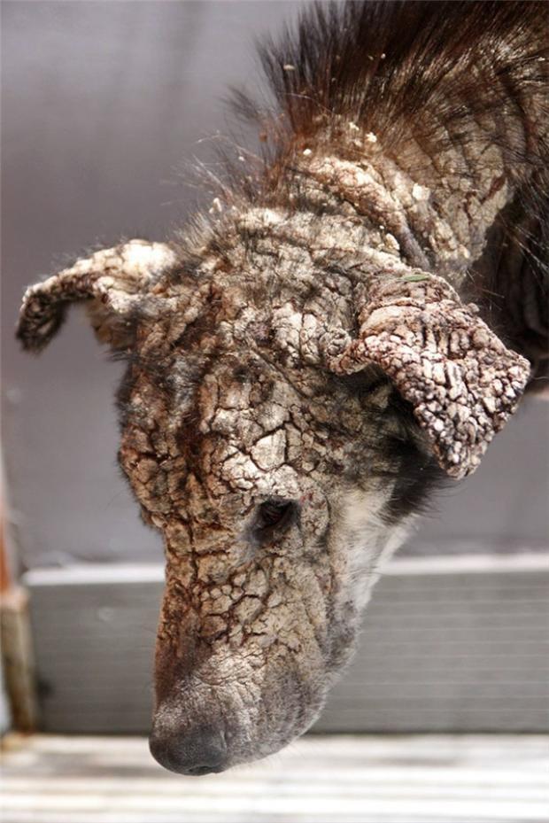 Chú chó có khuôn mặt hóa đá.