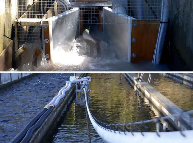 Những tưởng chỉ có động vật trên cạn mới có thể xây dựng được cầu. Tuy nhiên chính loài cá hồi cũng được làm cầu để dễ dàng lội ngược dòng vào mùa sinh sản tại sông Columbia, phía đông Washington.