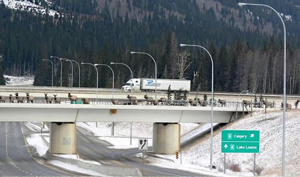 Một cây cầu khác được xây dựng trên cao dành cho động vật hoang dã tại Vườn quốc gia Banff (Alberta, Canada).
