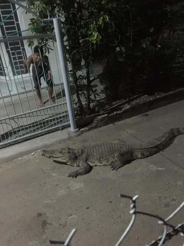 """Theo chia sẻ, con cá sấu """"vô tư"""" bò ra đường và khuya ngày 30/3."""