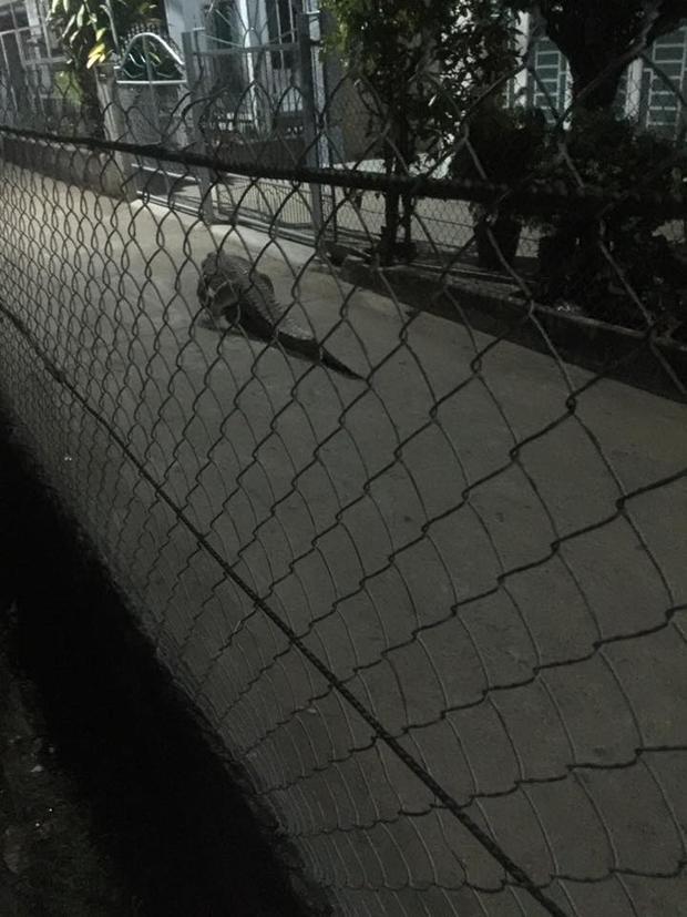 Ngay sau đó, người dân cùng chủ nhân của cá sấu đã bắt con vật đưa về chuồng.