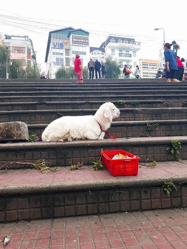 Phẫn nộ trước hình ảnh cừu con trắng nõn bị xích cổ bắt đi ăn xin ở chợ Đà Lạt