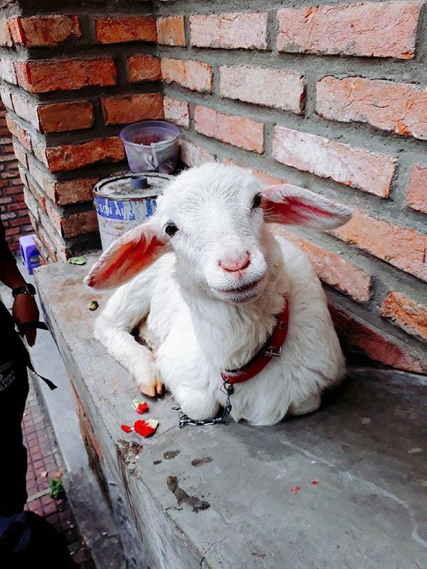 """Gương mặt đáng thương của chú cừu con khiến nhiều người phải """"móc ví"""" nhưng không biết điều đó đã gián tiếp khiến chú cừu nhỏ phải bị giam lỏng để kiếm tiền thay vì tung tăng cùng đàn cừu ở đồng cỏ."""