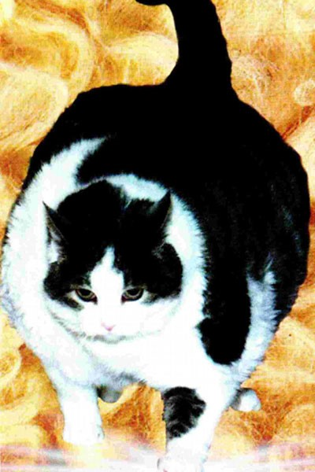 Chú mèo Himmy nặng tới21,3 kg.