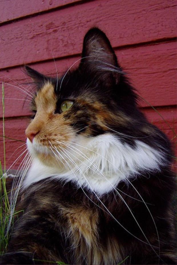 Chú mèo Missi với bộ râu dài19 cm (7,5 inch).