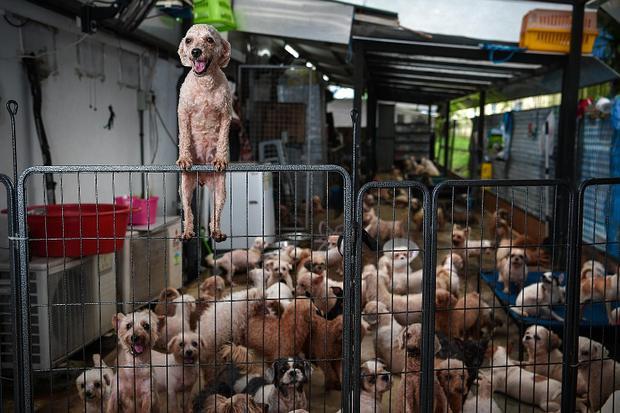 Xem cách người Singapore xử lý chó lang thang