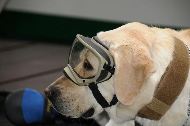 Cô chó cũng được trang bị trang phục bảo hộ như kính chuyên dụng…