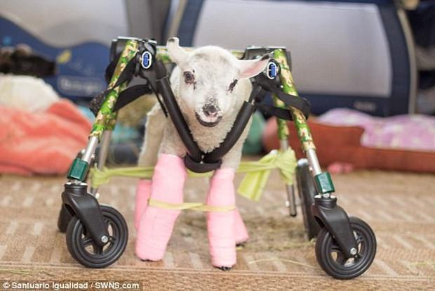 Hình ảnh vui tươi cho thấy Pam vui vẻ với những bước đi đầu tiên, chân của Pam được quấn khăn băng màu sáng.