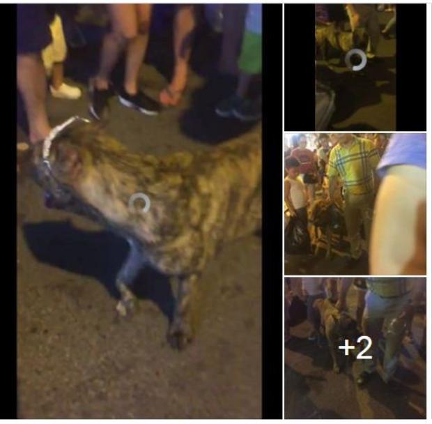 Hình ảnh về chú chó thả rông ở phố Hàng Mã được chia sẻ trên MXH.