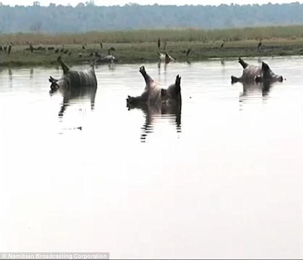 Theo ước tính ban đầu, có 109 con hà mã bị chết tại vườn quốc giaBwabwa,Namibia.