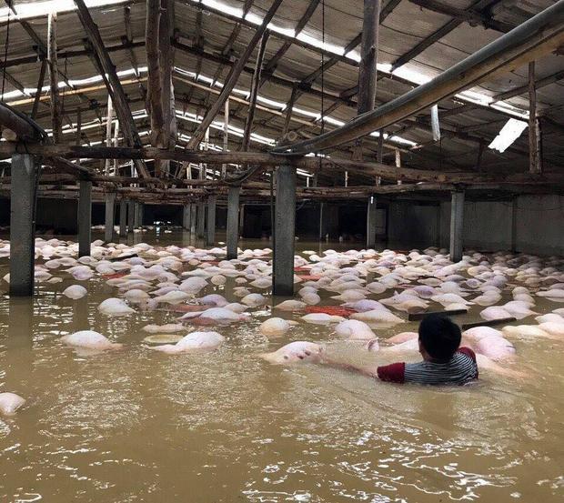Gần 4000 con lợn chết nổi lềnh bềnh trên mặt nước.