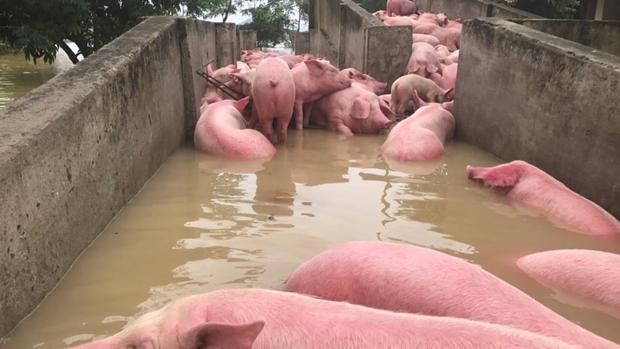 Số lợn còn sống được gia chủ di tản về nơi an toàn.