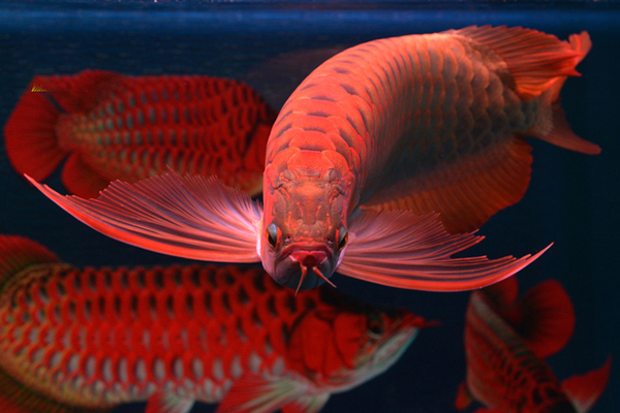 """Cá rồng đỏ, loài """"cá thần"""" mang lại may mắn, tài lộc"""