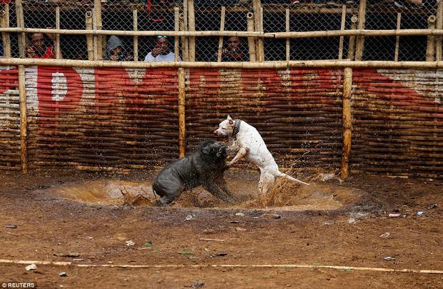 """Tập trung quanh một khu vực có hàng rào bằng tre, người dân của hòn đảo Java hẻo lánh háo hức theo dõi những trận chiến đẫm máu, được biết đến với cái tên """"adu bagong"""" (chiến đấu với lợn rừng)."""
