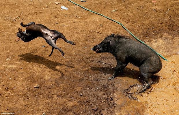 Chú lợp rừng dường như đang chiếm ưu thế khi hất tung con chó nhà. Đây là truyền thống địa phương có từ năm 1960.
